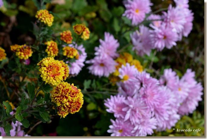 菊の花(黄)