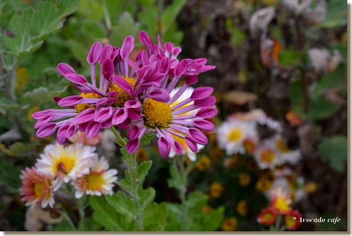 菊の花(薄紫)