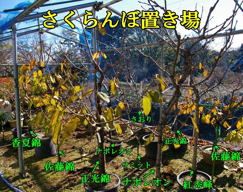 1sakuranbo1214c1.jpg