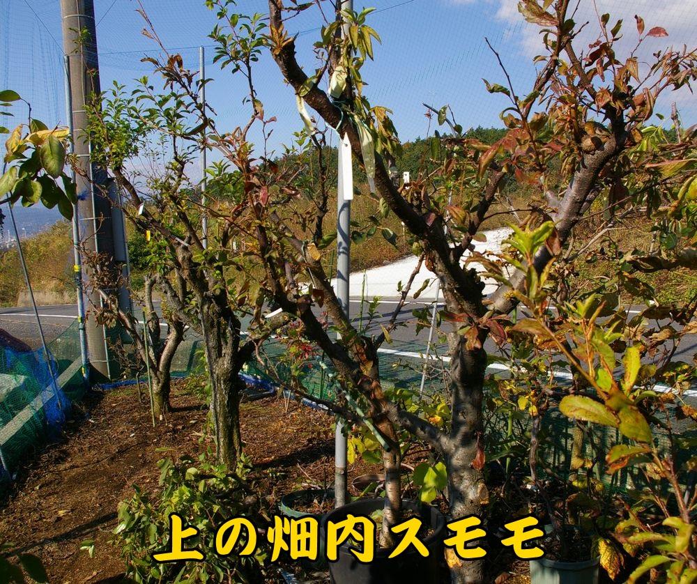 1sumomo1114c1.jpg