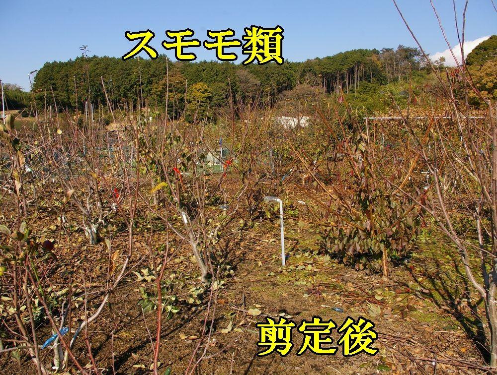 1sumomo1209c1.jpg