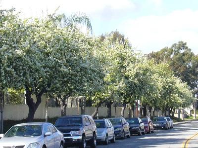 梨の花並木