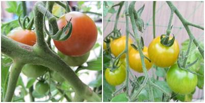 0703-トマト