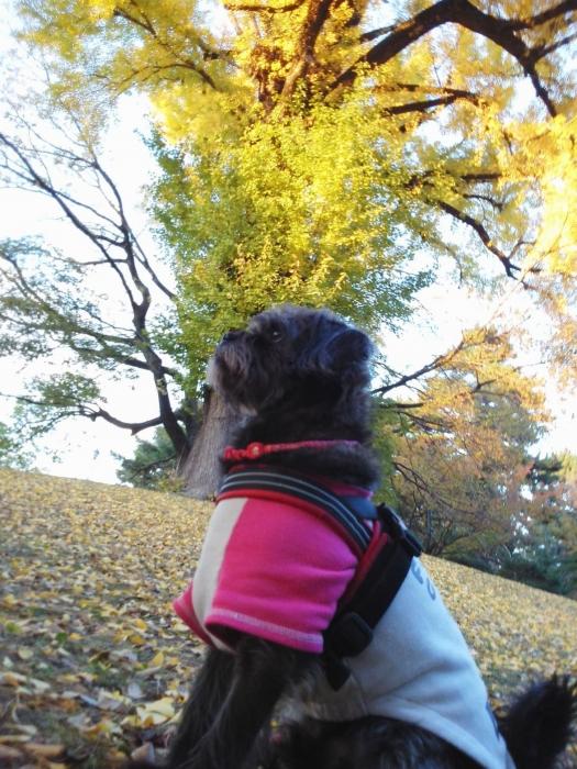 141119御所さんぽ⑤銀杏のお山とふうた