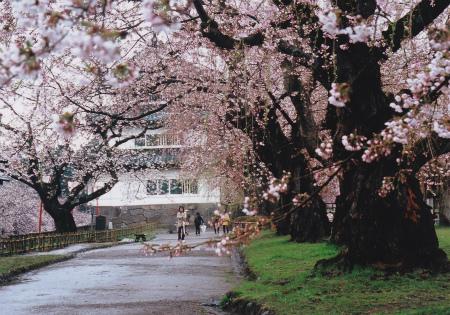 ブログ弘前城さくら3