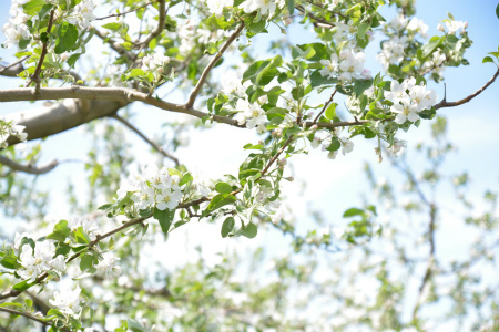ブログリンゴの花1