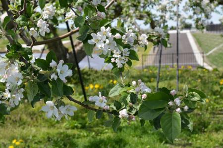 ブログリンゴの花2