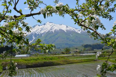 ブログリンゴの花と岩木山