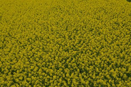 ブログ菜の花5