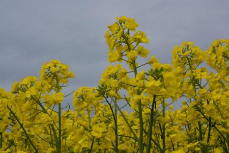 ブログ菜の花7