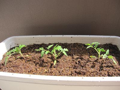 トマトの苗1