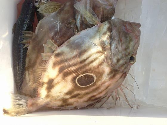 高須釣り-マトウダイ1