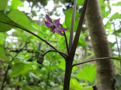 紫シシトウ