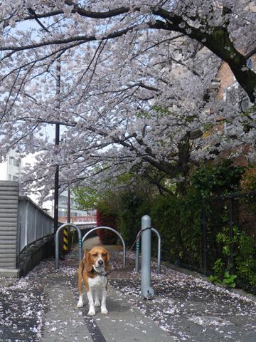 今朝の桜とウー