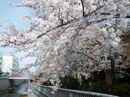 川面に突き出す桜