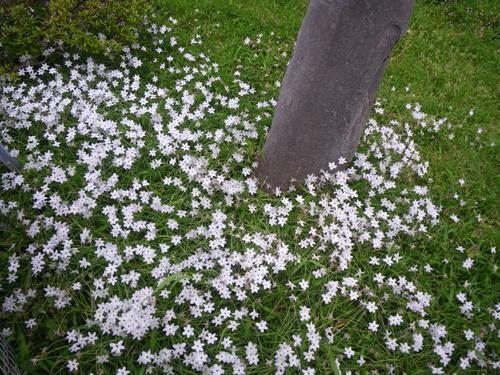 ハナニラの花畑