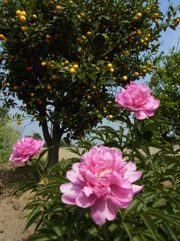 芍薬と金柑