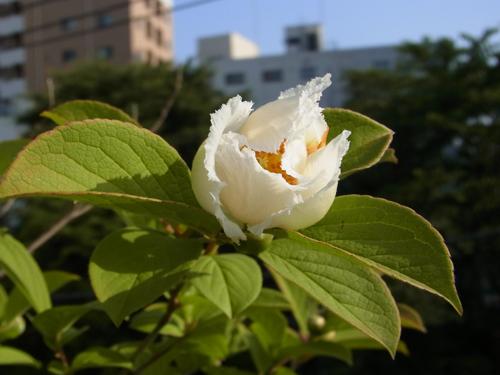 6月4日夏椿開花