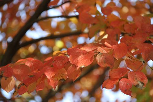 ハナミズキ紅葉