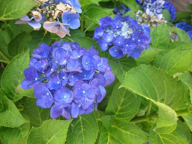 IMG_5081紫陽花
