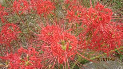 赤い彼岸花1