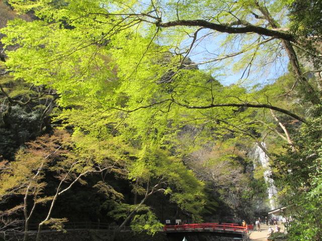 箕面滝2013春-7