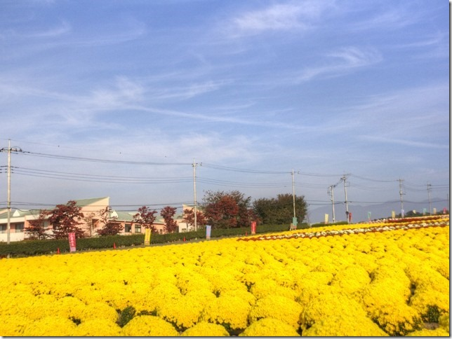 小菊の里、開花状況 (H26/10/31)