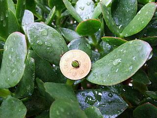 130731_1339今朝の「金の成る木」の5円玉