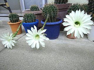 130831_1410今朝の子サボテンの花