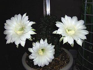 130831_1417今夜の親サボテンの花