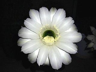 130831_1419今夜の子サボテンの花zoom
