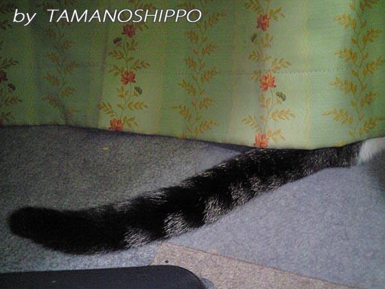 シッポが見えてる猫