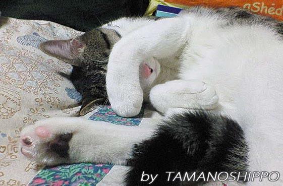 目を隠して寝る猫