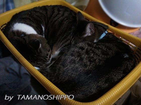 かご猫(たまとちび)