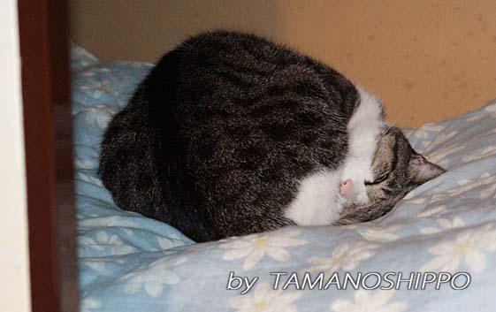 押入れで寝る猫