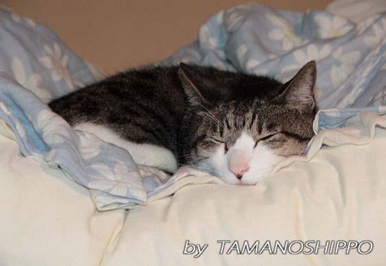 ぐっすり寝る猫