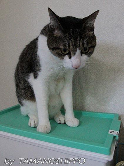 ゴミ箱に登る猫