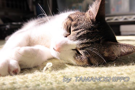 ひなたぼっこ猫