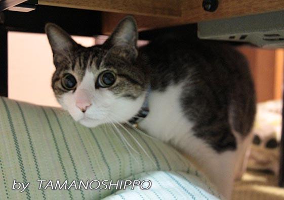 コタツの下に隠れる猫