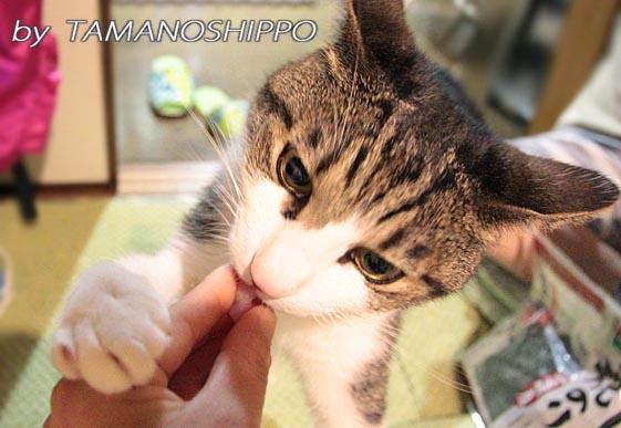 手からマグロを食べる猫
