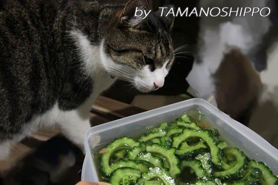 ゴーヤの酢漬けと猫