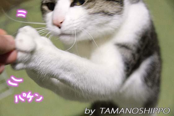 おもちゃをつかむ猫4712