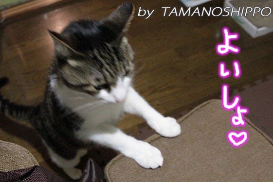 イスに登ろうとする猫5792