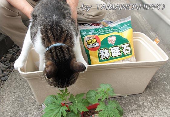 ゴーヤの苗の匂いをかぐ猫5990