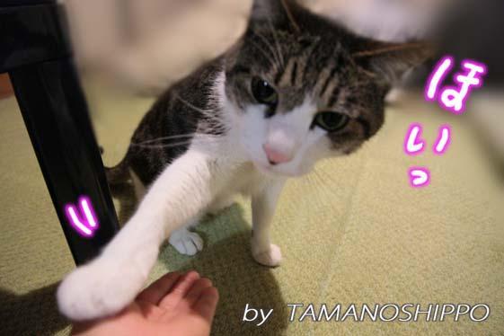 お手をする猫5337