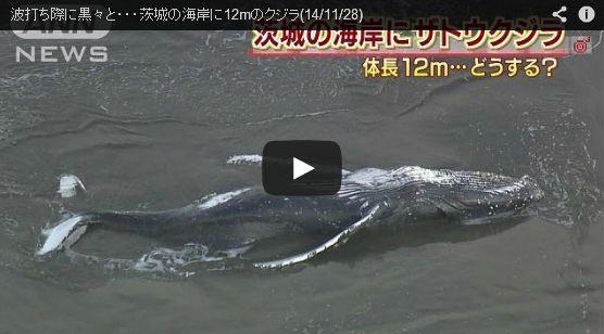 茨城の海岸でクジラ打ち上がる…和歌山・太地町では珍しい白いクジラ