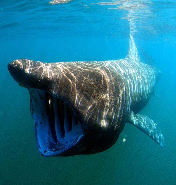 pub_wiki_uba_shark_Cetorhinus maximus