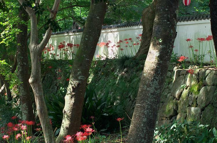 蓮華寺に彼岸花が咲く頃 2