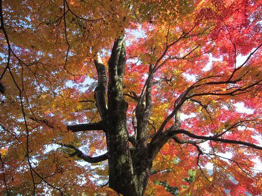 大門寺の紅葉 の大木