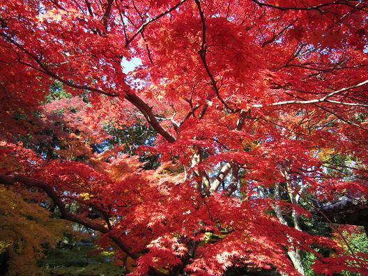 大門寺の本堂前の紅葉